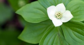 photo of bunchberry plant